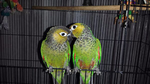 Hand Fed Conures