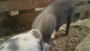10 feeder pigs for sale 60 plus pounds $50 each