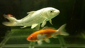 Koi and 60 galion fish tank for sell