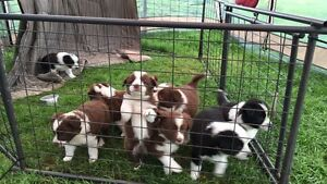 Border collie X Australian shepherd puppies