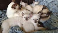 Vous serez en AMOUR avec ces magnifique chatton siamois !!!!