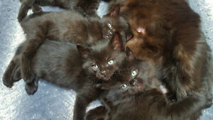 BombayxPersian kittens looking for their forever home