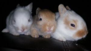 5 WEEK OLD BABY BUNNIES! 2 FEMALE 1 MALE! ADORABLE & HAND TAME!