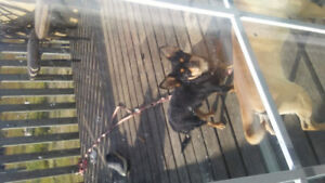 Chihuahua for sale needs to be rehomed to a new loving owner.