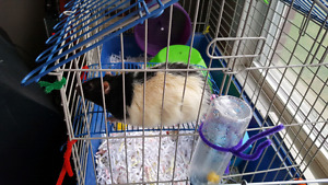 Adult large male rat needs new home.