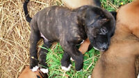 Tiger Tail & Auburn CANE CORSO (Italian Mastiff) Mix Puppies