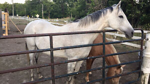 10 Year Old Gelding light riding/companion Only
