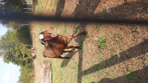Brown Billy Goat 2 yrs old