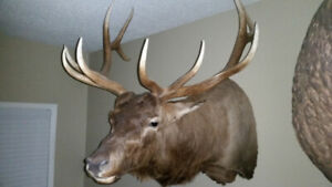 Taxidermy Siberian Elk