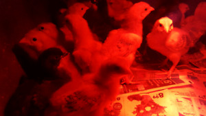 Day old Chicks 5$