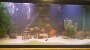 55 gallon fish tank with cichlids ect