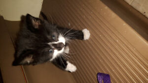 Xmas kittens for sale