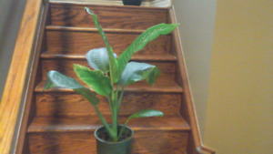 Big leafy plants for sale