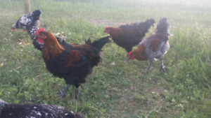 Beautiful Roosters Coppers, Bresse, Wyndotte