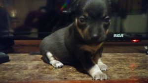 Apple head Chihuahua puppies 11 weeks old.2 girls and 2 boys