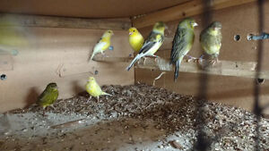 American singer's Canaries for sale 40 female 50 male's
