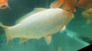 Large koi fish and large oscar and flowerhorn for sale