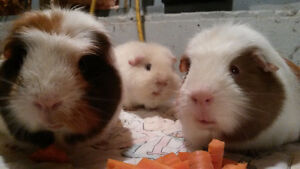 Three Guinea Pigs with Cage and Supplies