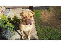 Dogue de Bordeaux 2 and a half years months old