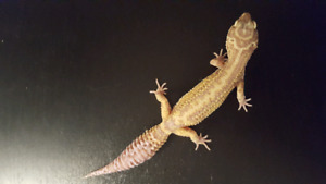 Female leopard gecko for sale