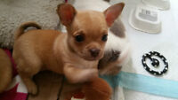 Chihuahua Pug puppies for sale