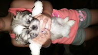 2 FEMALES SHIH TZU FOR SALE TO GOOD HOMES