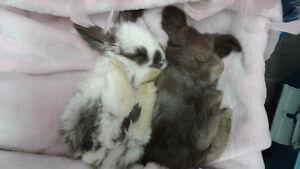 Pure Bred English Angora rabbit
