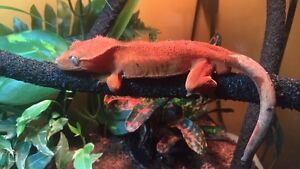 Wanted Female Crested Geckos