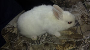 Mini Rex Rabbits $20.00 each