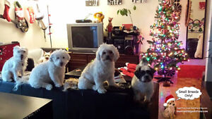 CAGE-FREE SLEEPOVERS & PLAYDATES FOR SMALL DOGS West Island Greater Montréal image 8