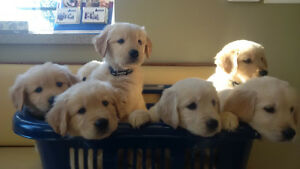 Golden Retiever Puppies- All  9 appoinments filled , thanks
