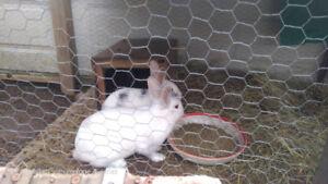 Beautiful Australian Rabbits