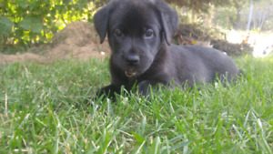 Lab mix puppies ready for their forever homes