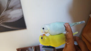 Budgies for sale <3