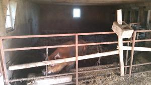 Pig (sow) breeding service