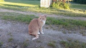 Lost cat in Anola - Neutered male 5 year old Dilute Orange Tabby