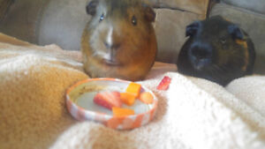 Two Bonded Male Guinea Pigs