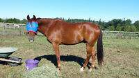 15 year old TB/QH for lease