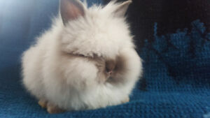 5 MONTH OLD BEAUTIFUL FEMALE ANGORA BABY BUNNY! FRIENDLY&CALM