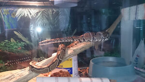 Ball python with tank, heater etc