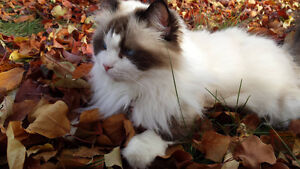 2 adult  females ragdoll cat for rehoming