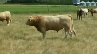 Yearling Charolais Bull For Sale