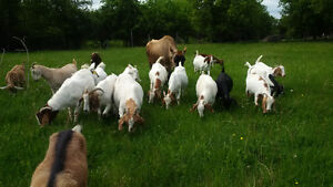 group of boer does  ***herd reduction***