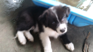 Border collie pups avail