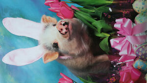 Micro Pigs Rescued