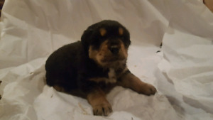 Rottweiler St.Bernard cross puppies