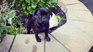 Lovely Pure Breed Pug Puppies ready for new homes!