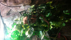 Red Crested Gecko - Female - High Colour