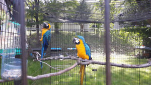 Precious Gorgeous Blue and Golden Macaw $1,000