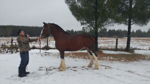 Beautiful Clydesdale Mare
